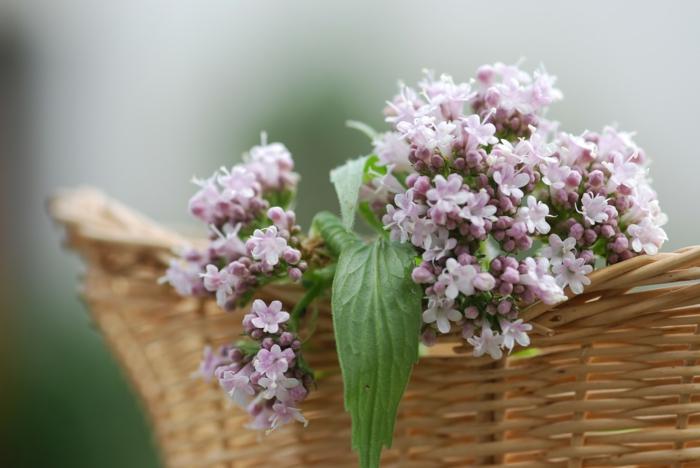 valériane plante médicinale
