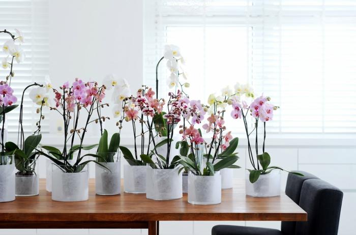 Phalaenopsis orchidée