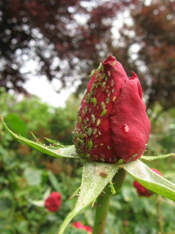anti-puceron naturel jardin