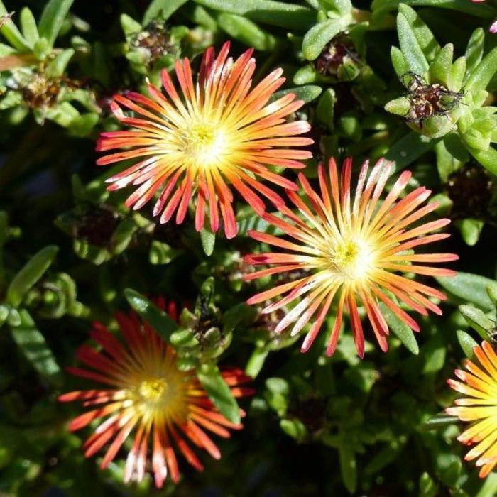 delosperma fleurs oranges culture