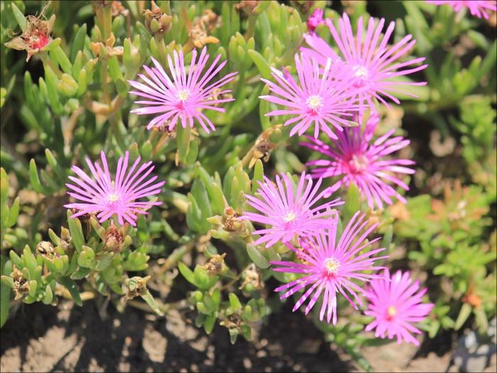 delosperma rose plante vivace