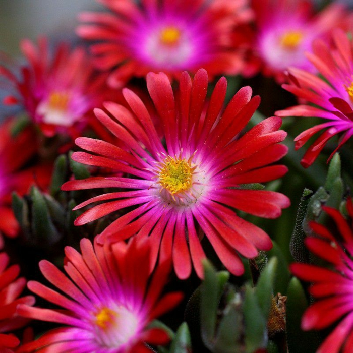 delosperma rouge plante couvre-sol