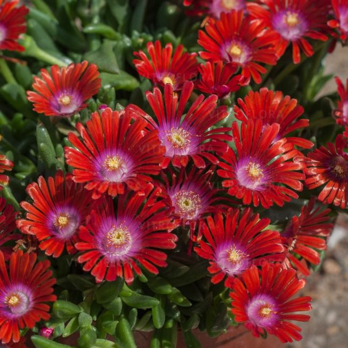 delosperma sundella red plantation