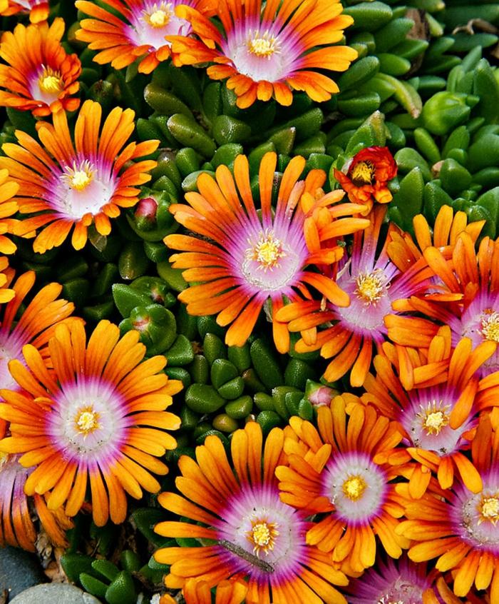entretien delosperma cooperi plante succulente