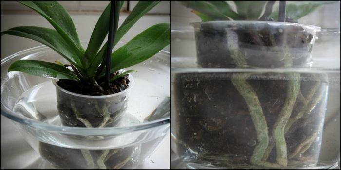 orchidée arrosage