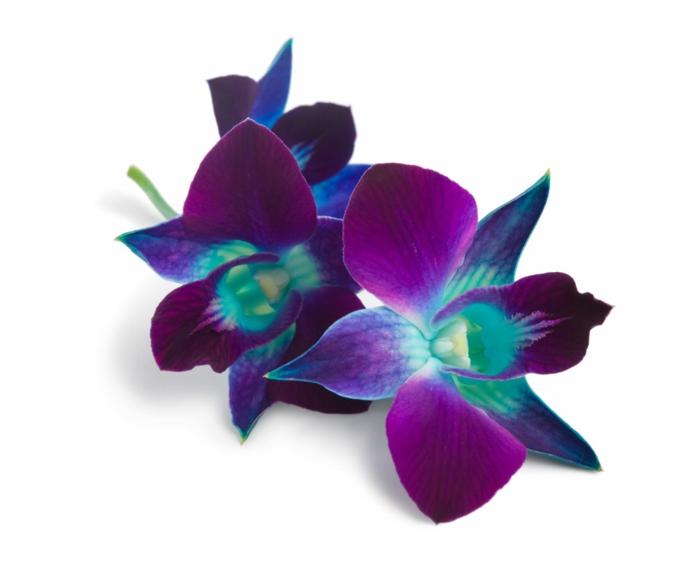 orchidée bleu et violet