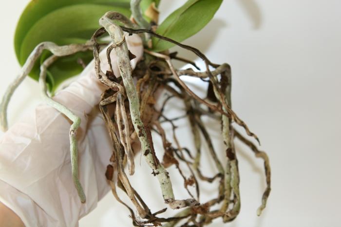 orchidée couper les racines