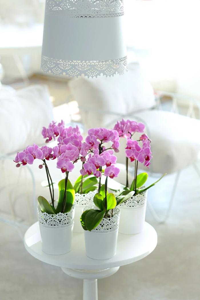 orchidée magnifique couleur rose