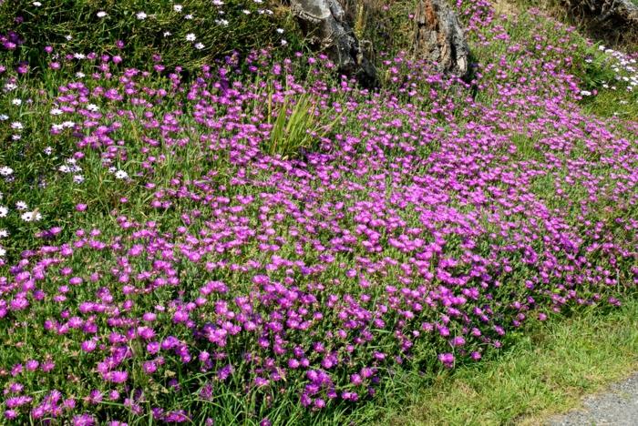 planter et cultiver delosperma cooperi