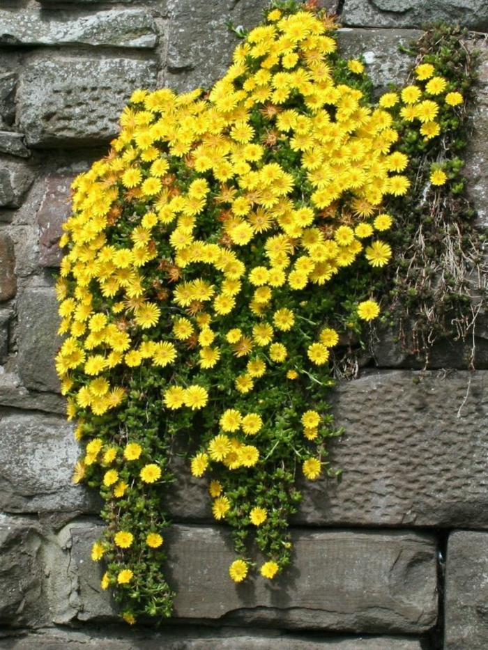 plantes et jardin Delosperma nubigenum jaune