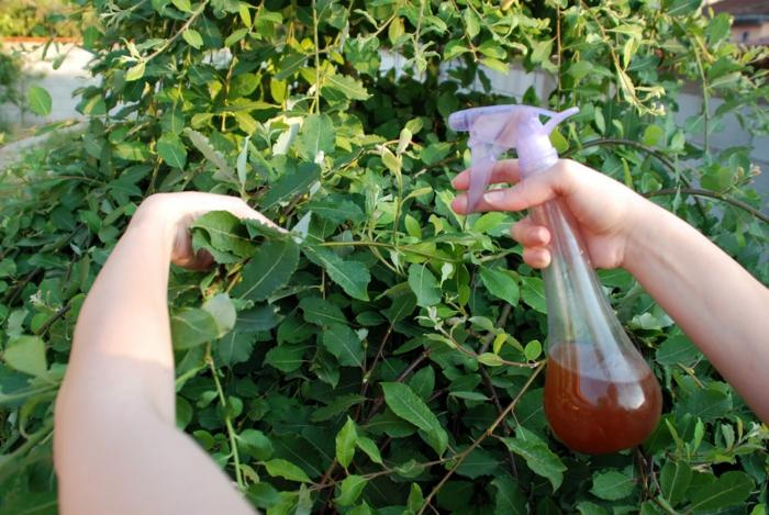 pulvérisateur plantes anti-puceron naturel