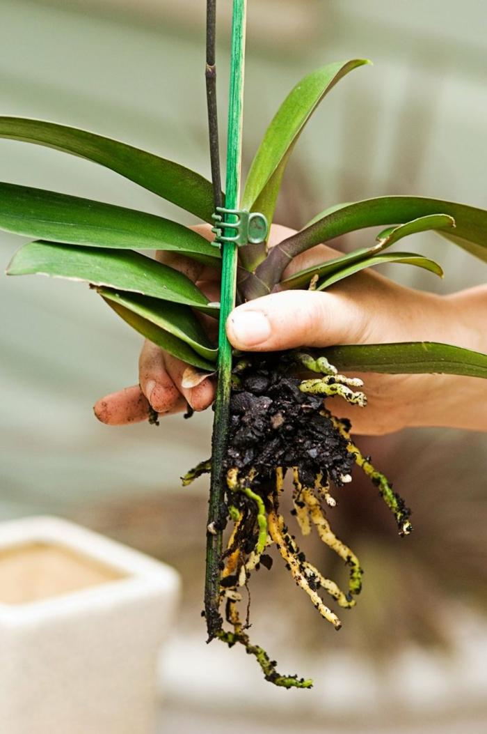 soins orchidée