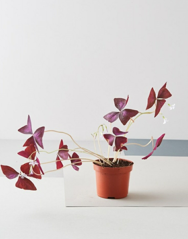 Oxalis Triangularis arrosage