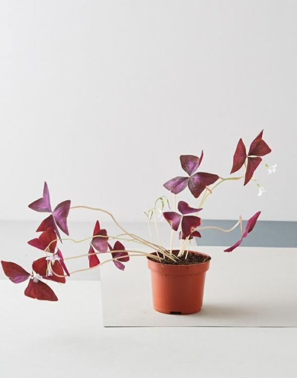 Oxalis Triangularis arrosage