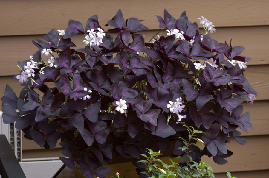 Oxalis Triangularis cultiver dans le jardinoxalis triangularis
