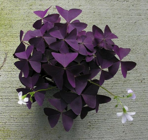Oxalis Triangularis cultiver dans l'intérieur