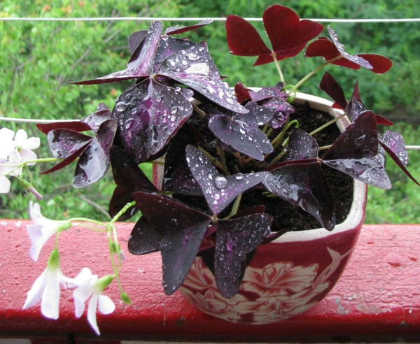 Oxalis Triangularis déco balcon