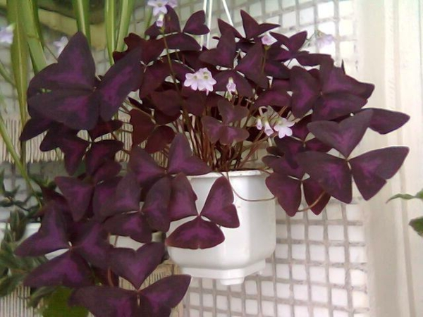 Oxalis Triangularis en pot suspendu