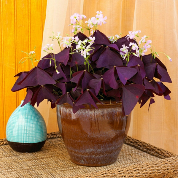 Oxalis Triangularis plante tendance