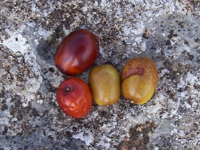 Ziziphus jujuba jujubes fruits arbre jujubier