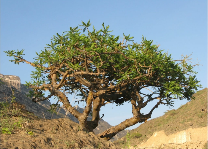 arbre boswellia sacra oliban