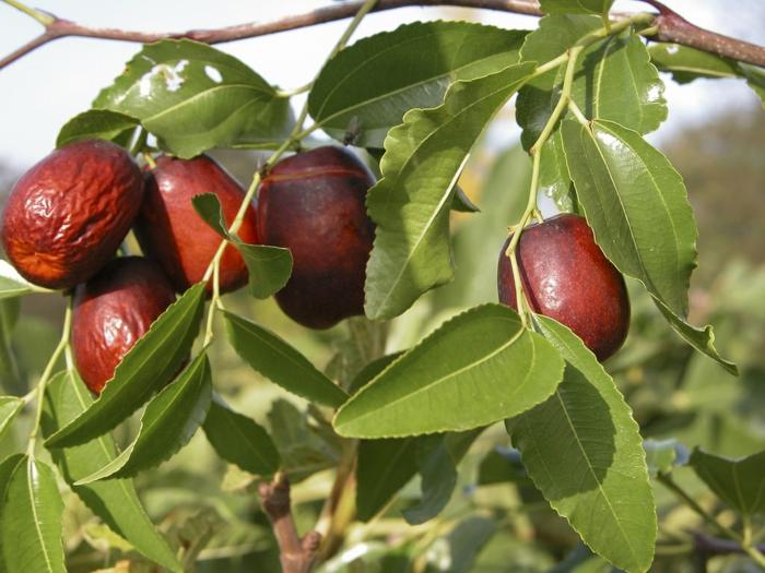 arbre fruitier jujubier culture