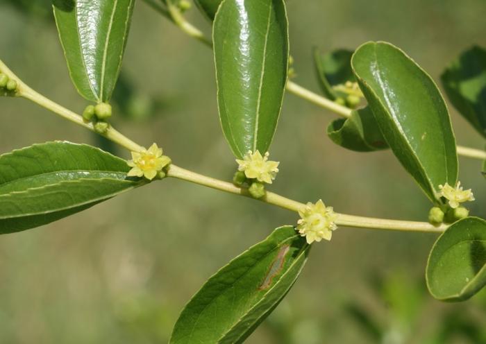 arbre fruitier jujubier fleurs