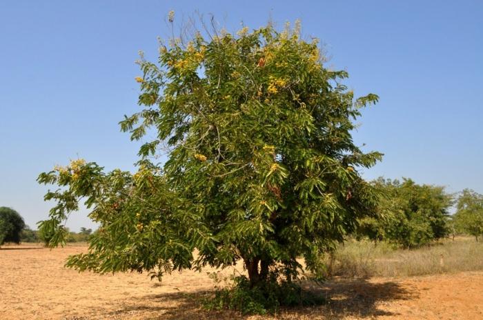 arbre jujubier comment cultiver