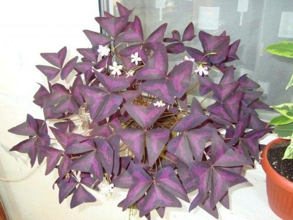 comment cultiver Oxalis Triangularis