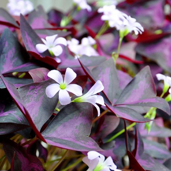 cultiver Oxalis Triangularis en pleine terre