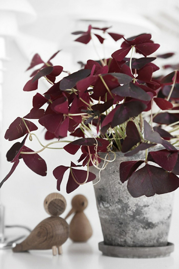 culture en pot Oxalis Triangularis
