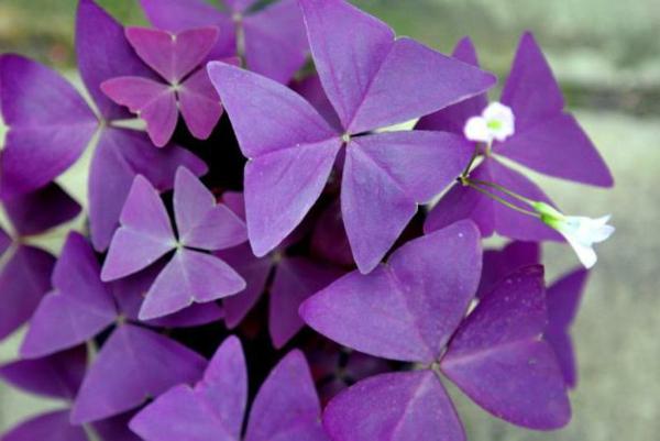 déco jardin Oxalis Triangularis