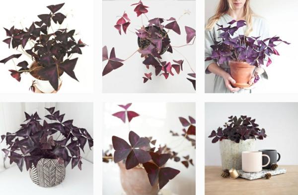 décorer la maison Oxalis Triangularis