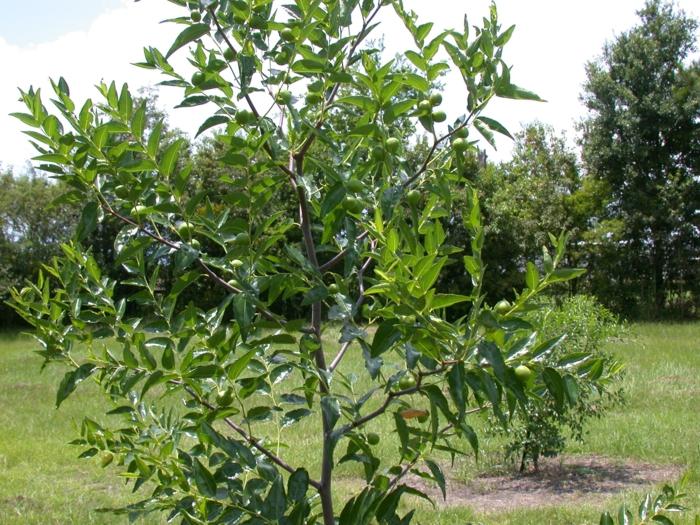 jaune arbre jujubier culture