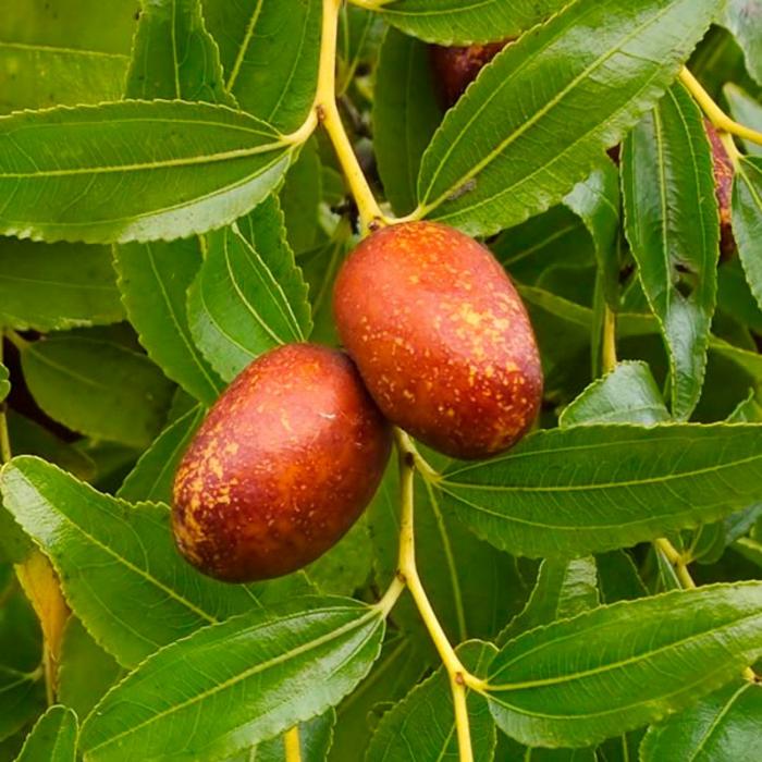 jujubes fruits jujubier