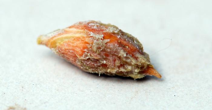 noyau fruits jujube jujubier