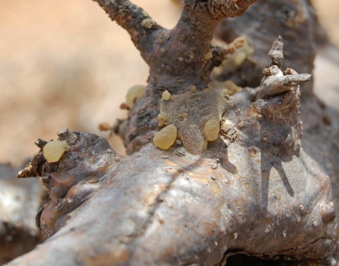 oliban résine boswellia sacra