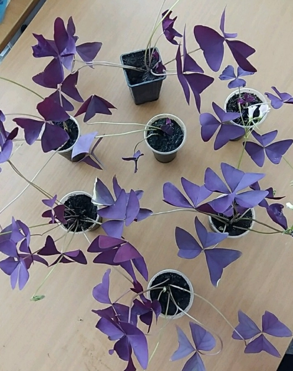 plante Oxalis Triangularis