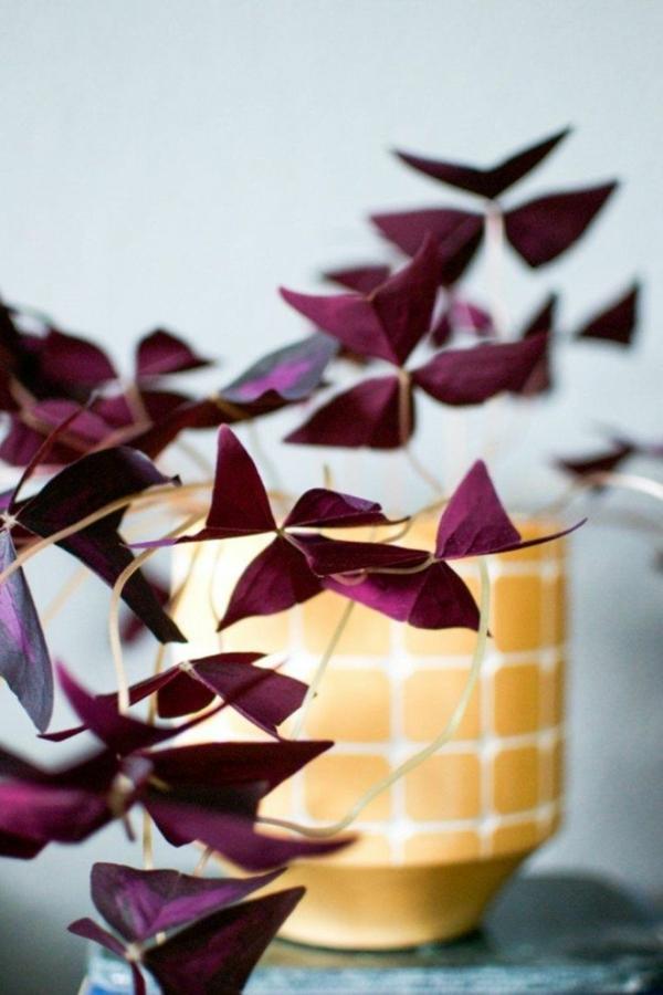 plante facile à cultiver Oxalis Triangularis