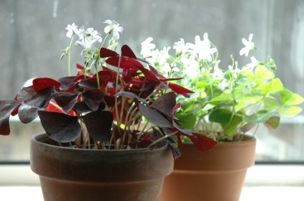 planter Oxalis Triangularis en pot