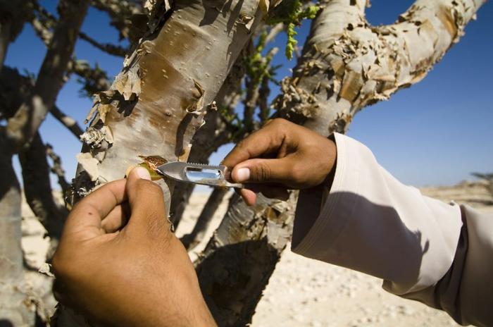 résine oliban arbre à encens