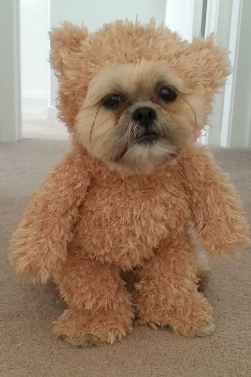 idée déguisement Halloween petit ours charmant