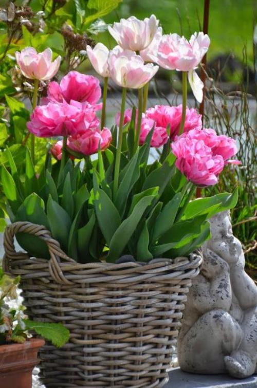 plante extérieure en pot tulipes roses