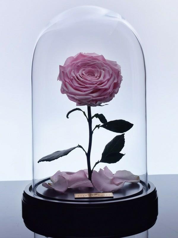 rose sous cloche comment conserver une rose