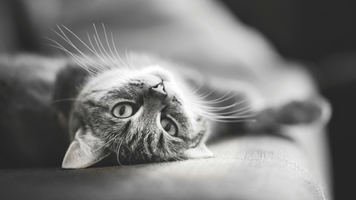 chat photographie noir et blanc