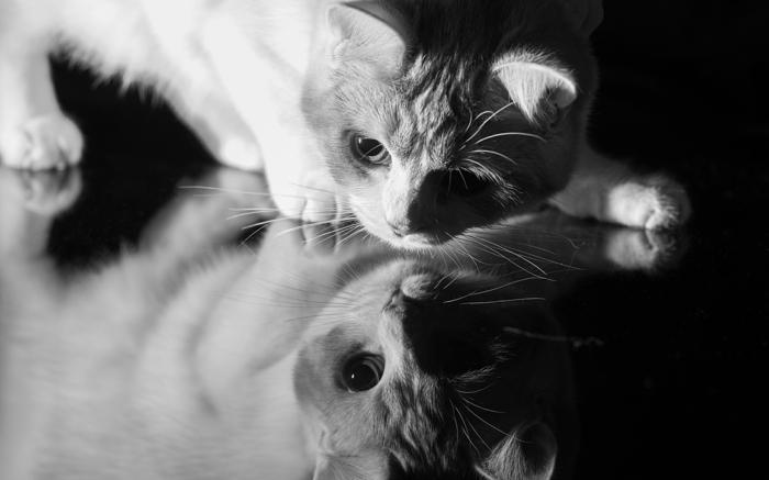 chat sur un miroir photographie noir et blanc