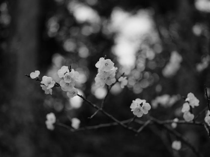 fleurs de cerise photographie noir et blanc