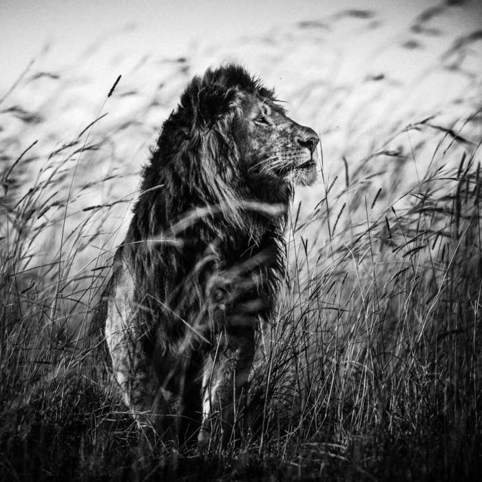 lion photographie noir et blanc