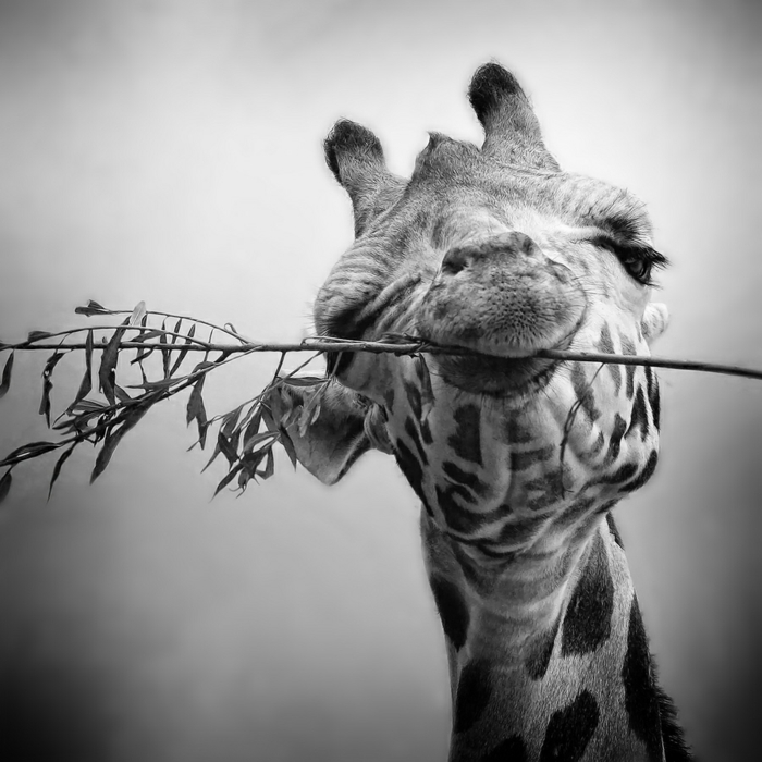 photo de girafe photographie noir et blanc