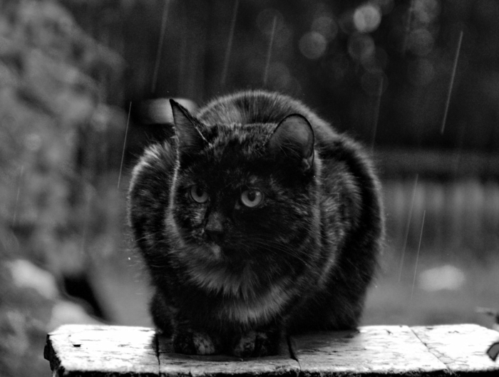 photo d'un chat photographie noir et blanc